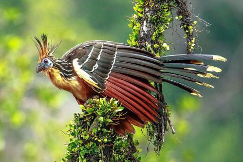 Hoazin huppe fiche animaux oiseaux amerique du sud hoatzin animals bird facts